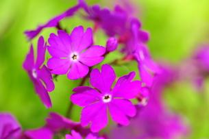 濃淡の花の写真素材 [FYI00322527]