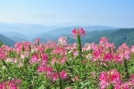 山頂のお花畑の素材 [FYI00322601]