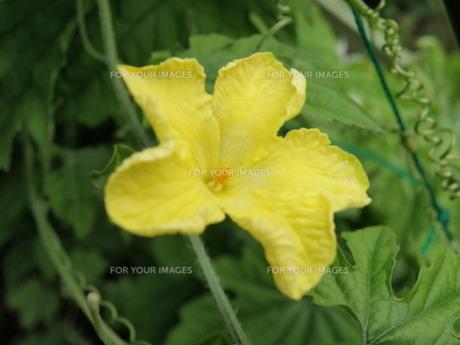 ゴーヤの花の写真素材 [FYI00322624]