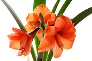 オレンジのアマリリスの花の写真素材 [FYI00322690]