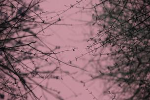ピンクに染まる小さな芽の写真素材 [FYI00322744]