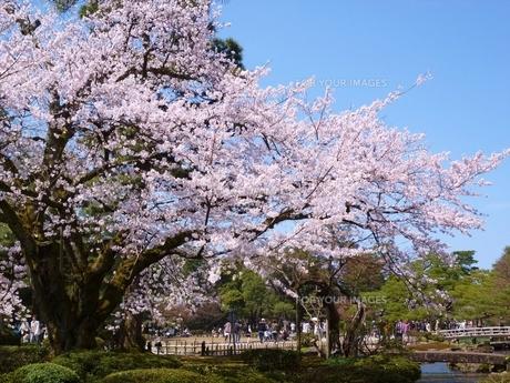 兼六園の桜の写真素材 [FYI00322980]