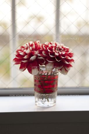 窓辺の花の素材 [FYI00323078]