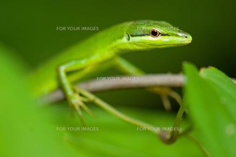 サキシマカナヘビの写真素材 [FYI00323351]