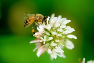 シロツメグサとミツバチの素材 [FYI00323355]