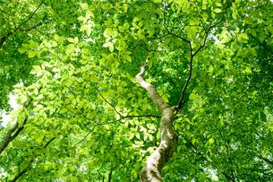 ブナの木の新緑の写真素材 [FYI00323396]