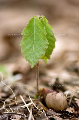 コナラの芽生えの写真素材 [FYI00323397]