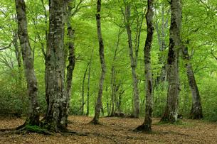ブナ林の新緑の写真素材 [FYI00323400]