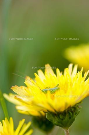 カントウタンポポとバッタの幼虫の写真素材 [FYI00323403]