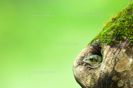 木の洞から顔を出すカエルの写真素材 [FYI00323406]
