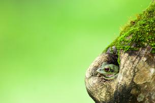 木の洞から顔を出すカエルの素材 [FYI00323406]