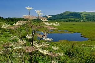 シシウドと八島湿原の写真素材 [FYI00323407]