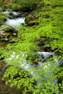 新緑と渓流の写真素材 [FYI00323423]