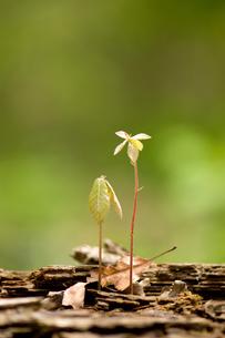 コナラの発芽の写真素材 [FYI00323429]