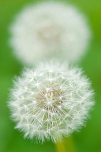 タンポポの綿毛の写真素材 [FYI00323441]