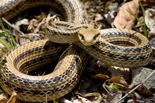 シマヘビの威嚇の写真素材 [FYI00323444]