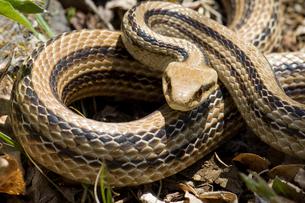 シマヘビの威嚇の写真素材 [FYI00323445]