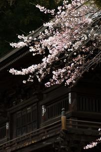 桜と山門の写真素材 [FYI00323489]