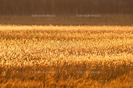 黄金色の写真素材 [FYI00323507]