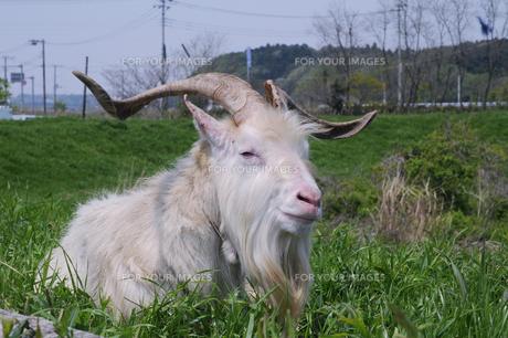 眠そうなヤギの写真素材 [FYI00323530]