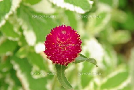 丸い花の写真素材 [FYI00323558]