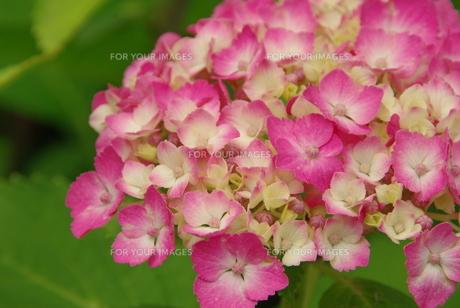 ピンクの紫陽花の写真素材 [FYI00323563]