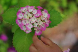 紫陽花と小さき手の写真素材 [FYI00323565]