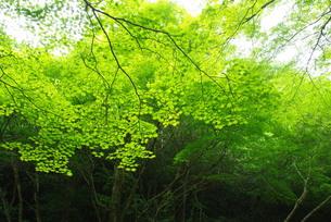 緑のモミジの写真素材 [FYI00323578]