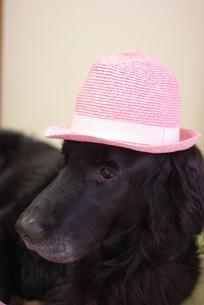 帽子を被った犬の写真素材 [FYI00323580]