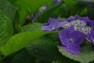 雨に濡れた紫陽花の写真素材 [FYI00323589]