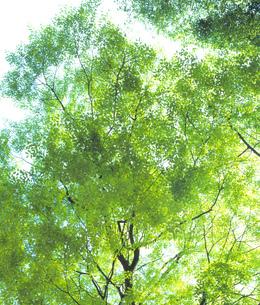 あざやかな新緑の写真素材 [FYI00323711]