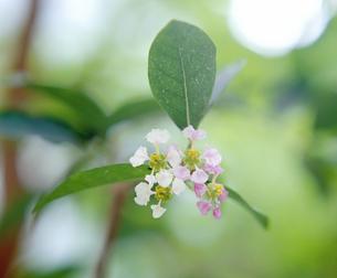 アセロラの花の写真素材 [FYI00323746]