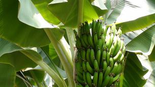 青いバナナの写真素材 [FYI00323788]