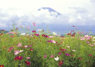 コスモスと富士の写真素材 [FYI00323812]