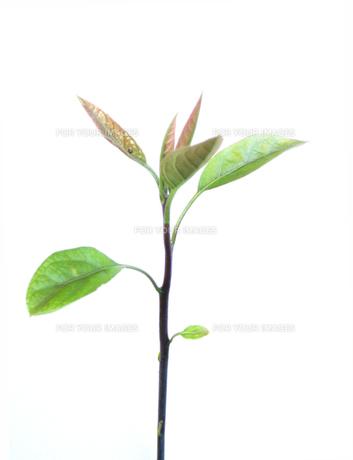 アボカドの新芽の写真素材 [FYI00323850]
