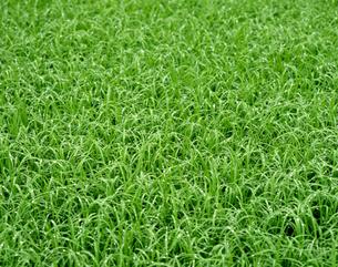 緑の草に朝露の写真素材 [FYI00323862]