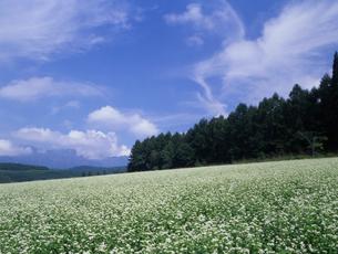 そば畑の写真素材 [FYI00323903]