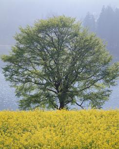 北竜湖の菜の花の写真素材 [FYI00323908]