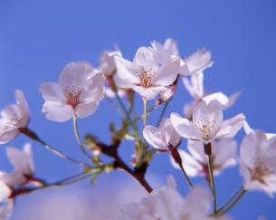 桜の花の写真素材 [FYI00323909]