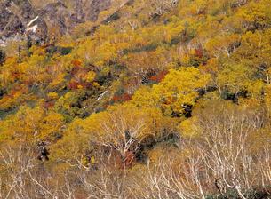 秋のワタスゲ湿原の写真素材 [FYI00323930]