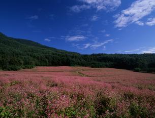 赤そばの花の写真素材 [FYI00323942]