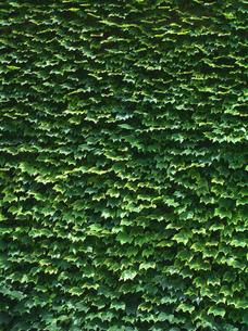 蔦の葉の写真素材 [FYI00323947]