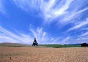 美瑛の大地と青空の写真素材 [FYI00323975]