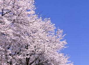 満開の桜と青空の写真素材 [FYI00324016]