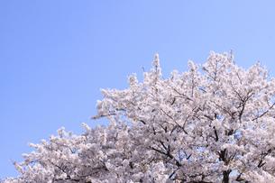 桜と青空の写真素材 [FYI00324065]