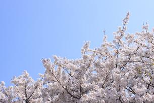 桜の写真素材 [FYI00324068]