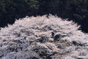 満開の山桜の写真素材 [FYI00324072]
