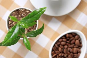 コーヒーの葉と豆の写真素材 [FYI00324074]