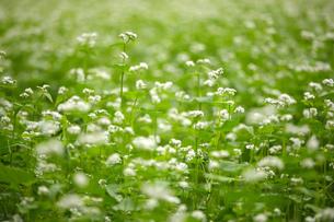 ソバの花の写真素材 [FYI00324098]