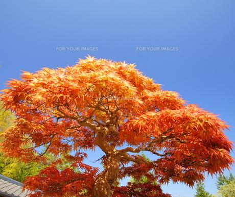 大木に見える盆栽の写真素材 [FYI00324296]